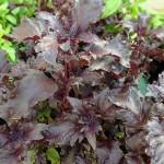 Pesto rosso - Originaire de l'Inde, le basilic rouge possède une saveur chaude et épicée qui évoque la Provence.