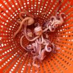 Salade de la mer à l'italienne – Calamars nettoyés.