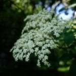 Boisson aux fleurs de sureau - Corymbe de sureau noir.