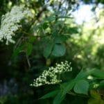 Boisson aux fleurs de sureau - Les fleurs de sureau sans le pédoncule noir sont comestibles.