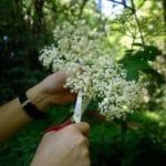 Boisson aux fleurs de sureau - A l'aide de ciseaux, récolter 20 beaux corymbes de sureau noir.